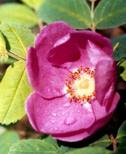 Роза таежная...