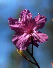 Багульника цветок