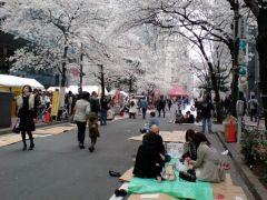 Цветущая сакура 32
