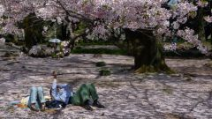 Цветущая сакура 12