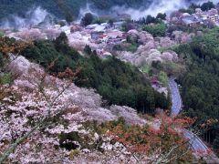 Цветущая сакура 19