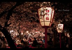 Цветущая сакура 7