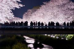Цветущая сакура 30