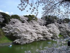 Цветущая сакура 31