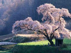 сvetuschaya sakura