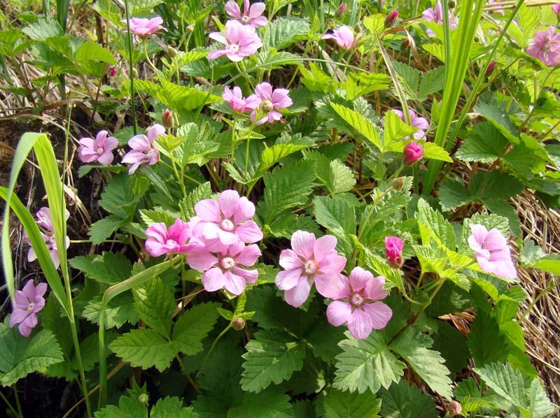 Княженика, много цветов на полянке