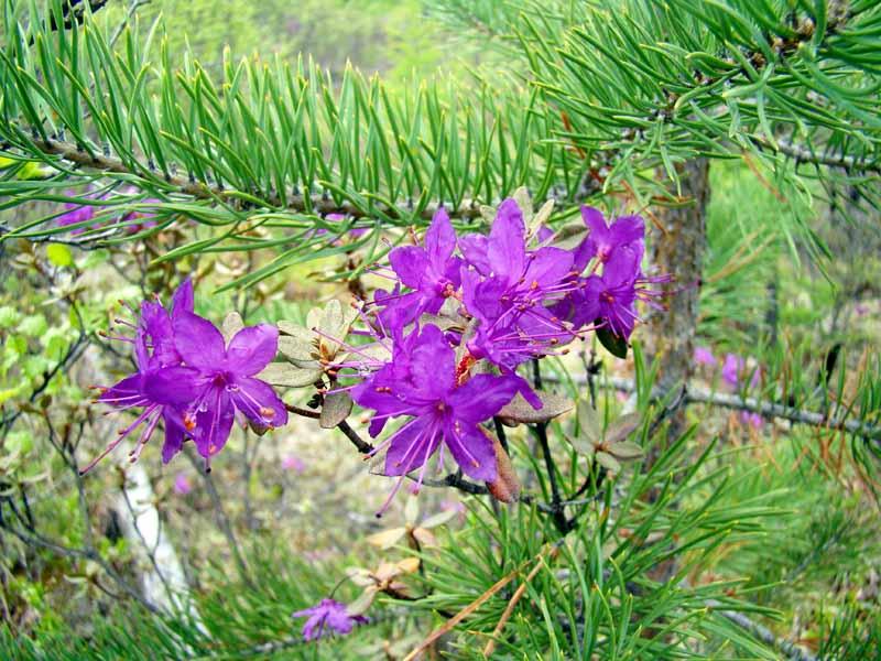 Контрасты, однако! Зелень хвои лиственницы и пурпур цветков багульника (рододендрона)