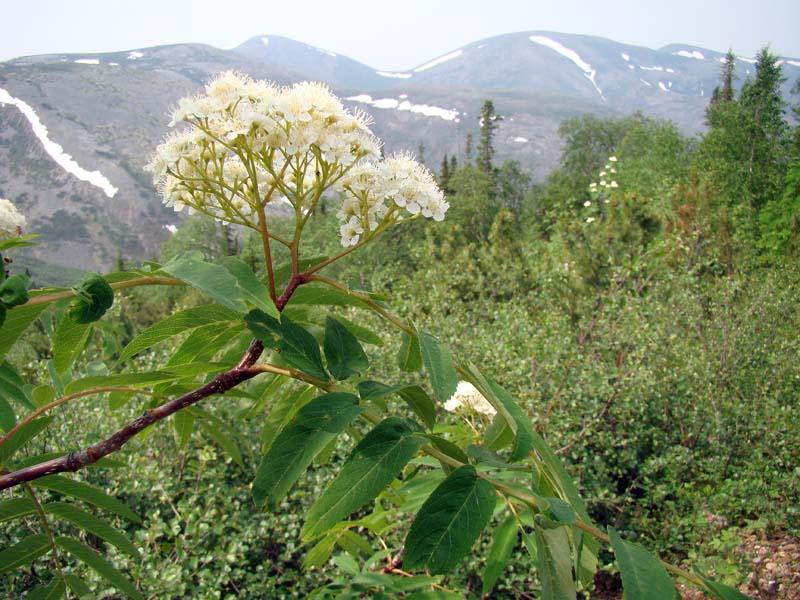 Цветет Рябина Белая