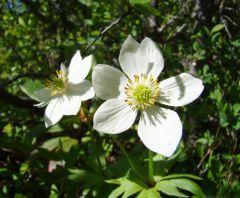 Крупный белый раскрытый таежный цветок