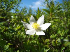 Цветок белый